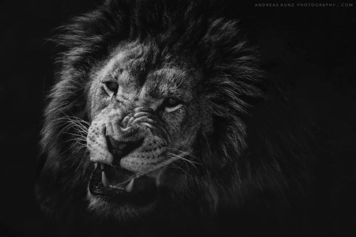 Angry lion fineart black and white