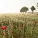 Germany-corn-field-in-fog-Andreas-Kunz-Photography