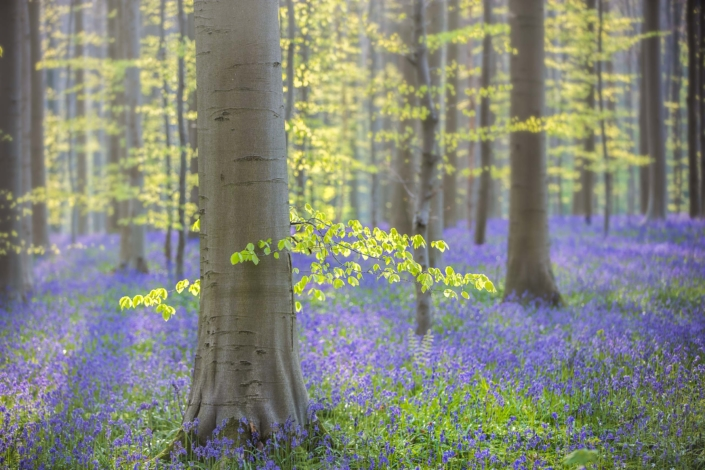 Hallerbos-with-tree-and-bluebells-backlight-Andreas-Kunz-Photography-2560