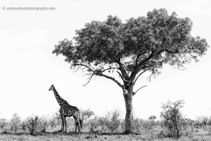 fineart giraffe under tree