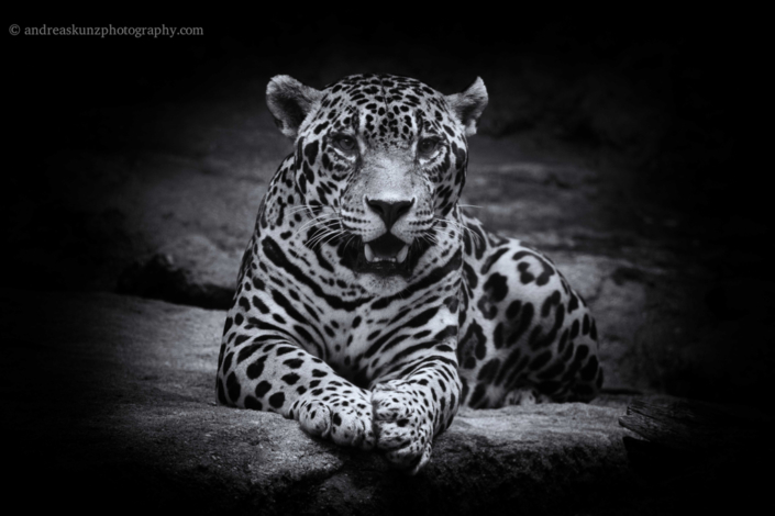 Fineart leopard black and white