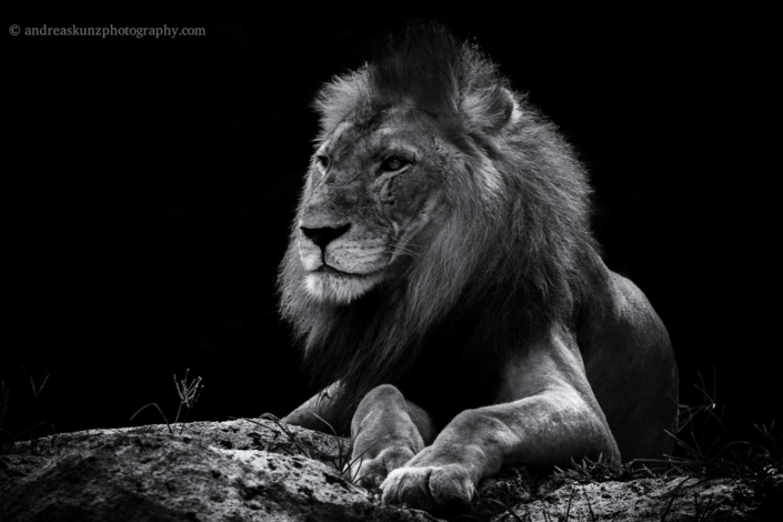 Fineart Lion black and white