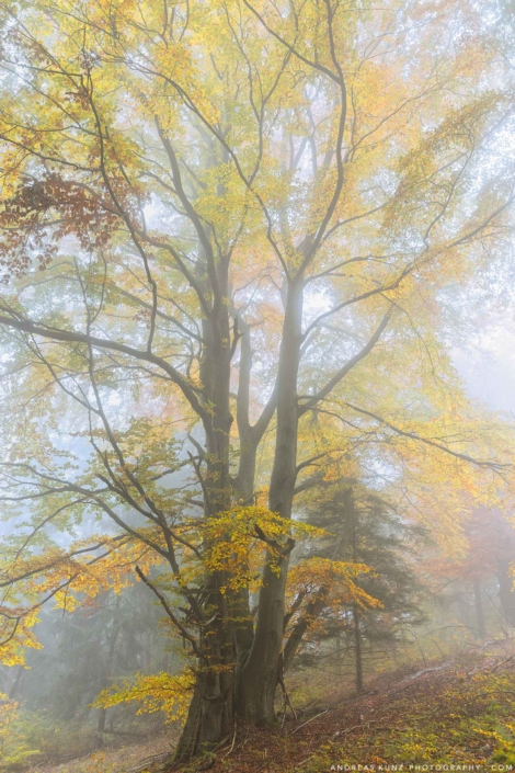Yellow tree with fog in atumn Germany