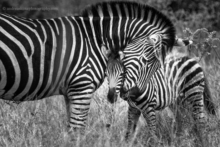 zebra and jung fineart black and white