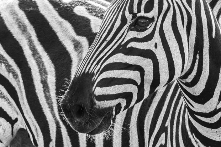 Zebra closeup fineart