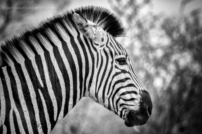Headshot Zebra fineart black and white