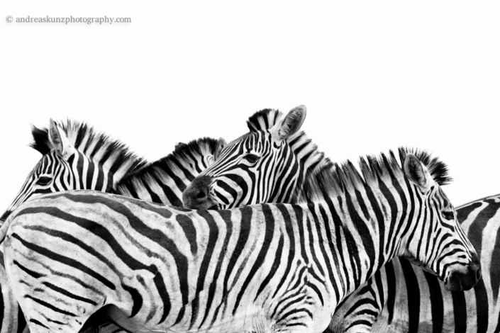 Fineart Zebras black and white